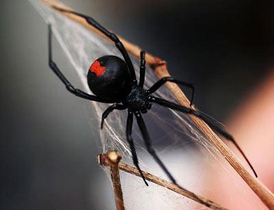Loài nhện đen cực kỳ độc người dân nên tránh nếu gặp chúng. Ảnh minh họa