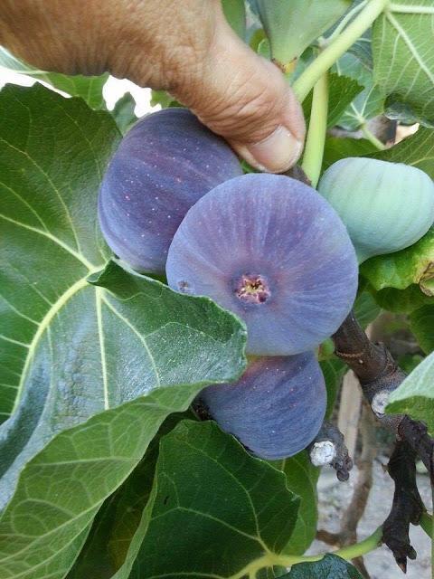 Cây sung Mỹ có quả chín ăn ngon ngọt được nhiều người săn tìm và mua. Ảnh minh họa