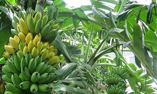 Kỹ thuật trồng chuối ngự - đặc sản tiến vua ăn quanh năm