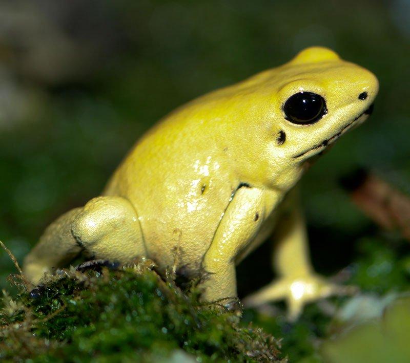 Ếch phi tiêu vàng thuộc loài độc nhất trong các loài ếch. Ảnh minh họa