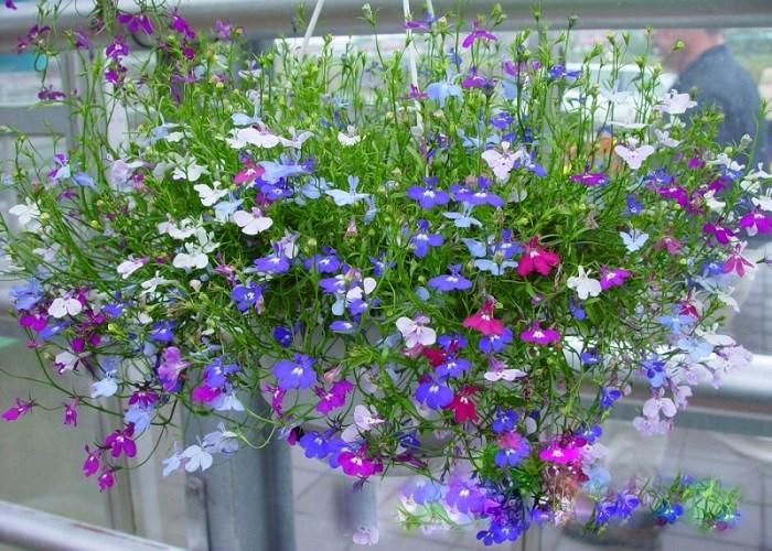 Hoa Thúy điệp có sắc tím, hồng cùng xanh nước biển tạo nên vẻ đẹp rực rỡ cho vườn nhà. Ảnh minh họa