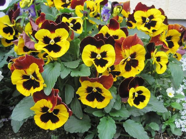 Hoa păng xê đẹp dịu dàng, màu sắc đa dạng. Ảnh minh họa