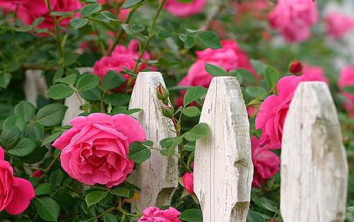 Kỹ thuật trồng hoa tầm xuân hồng tạo không gian ấn tượng cho không gian nhà bạn. Ảnh minh họa