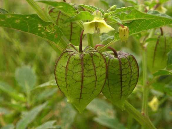 Kỹ thuật trồng cây tầm bóp ngon- đẹp- lạ và chữa bệnh cực hiệu quả