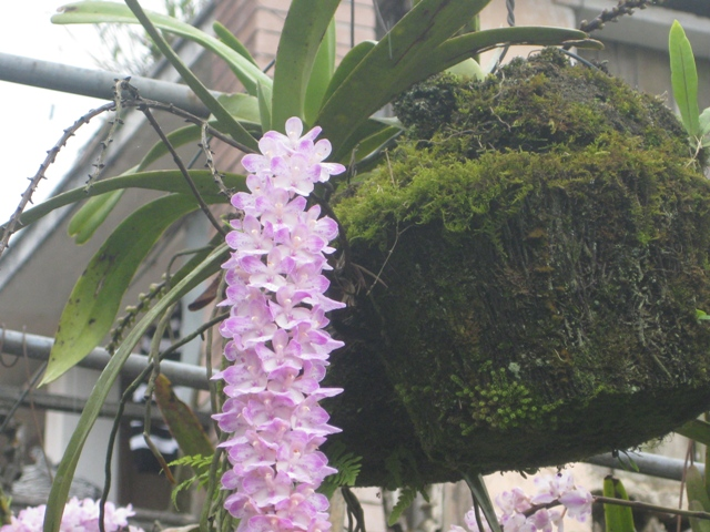Kỹ thuật trồng lan Đuôi chồn và cách chăm sóc cho hoa nở đúng dịp Tết - ảnh 2