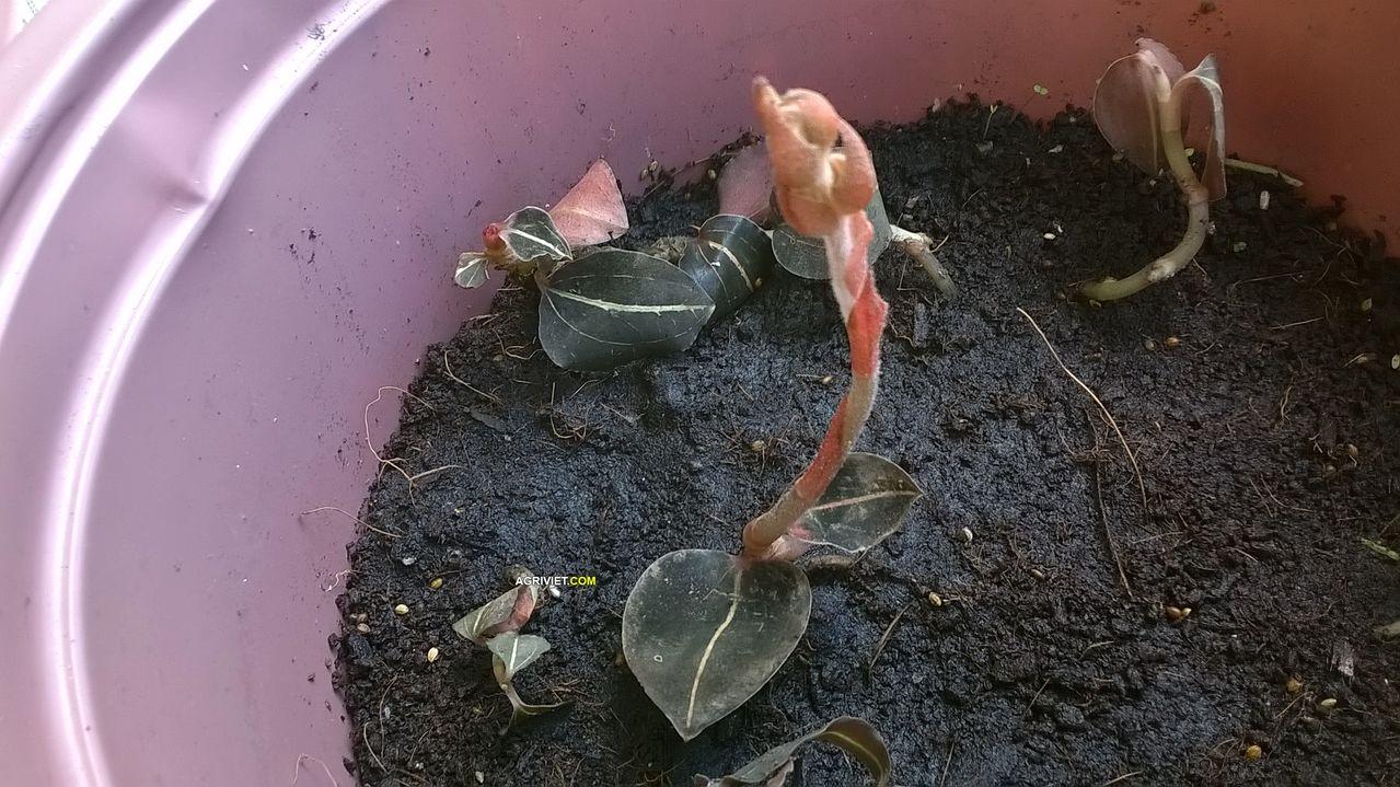 Kỹ thuật trồng và chăm sóc cây Lan gấm bằng cách giâm cành. Ảnh minh họa