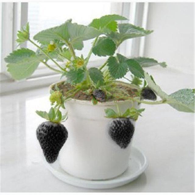 Kỹ thuật trồng dâu tây đen tại nhà cần chăm sóc khá kỹ. Ảnh minh họa