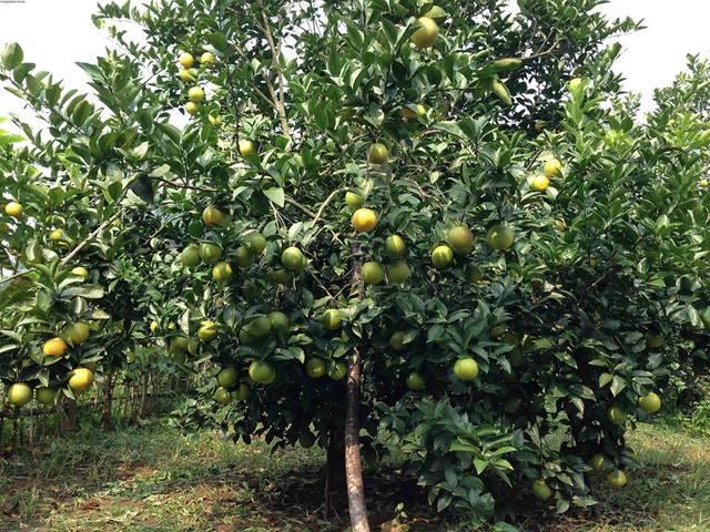 Kỹ thuật trồng cây cam Vinh cho năng suất vượt trội kiếm tiền tỷ mỗi năm
