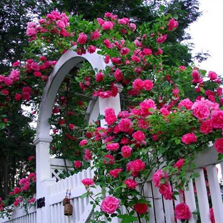 Kỹ thuật trồng hoa hồng leo không đơn giản chỉ là việc chăm sóc thông thường mà còn phụ thuộc rất nhiều vào kỹ thuật căt tỉa hoa hồng sao cho chúng phát triển đẹp nhất. Ảnh minh họa