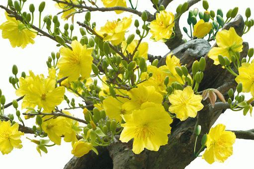 Kỹ thuật trồng mai vàng đã khó tạo nụ dày đặc nở bung đón Tết còn khó hơn nhiều lần. Ảnh minh họa