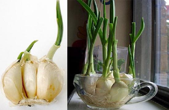 Trồng tỏi tại nhà làm thực phẩm sạch khỏi lo hóa chất, chữa bệnh hiệu quả