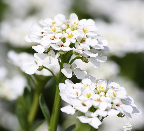 Trồng hoa ngàn sao cũng nên thường xuyên cắt tỉa giúp cây sạch bệnh. Ảnh minh họa