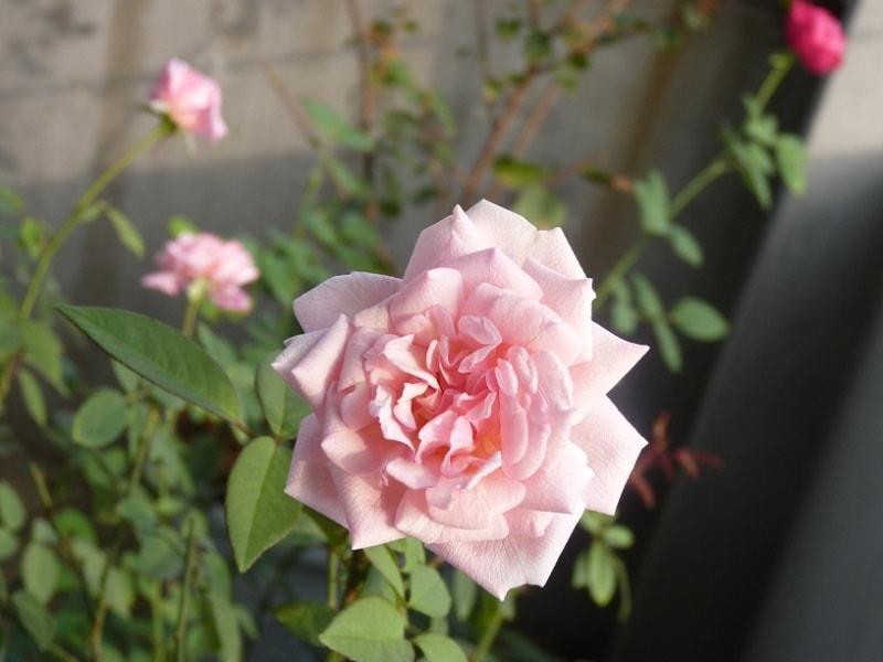 Kỹ thuật trồng hoa hồng đào cổ bằng nhiều cách như giâm cành, chiết...Ảnh minh họa