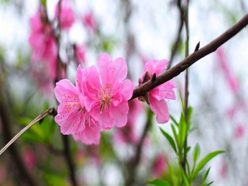 Cách chăm sóc cây đào cho hoa nở đẹp cần phải chú ý tới nhiều yếu tố từ nước, phòng bệnh và việc cắt tỉa. Ảnh minh họa