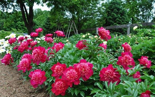Trồng cây hoa Mẫu đơn để hút tài lộc, hạnh phúc trọn đời cho gia chủ - ảnh 1