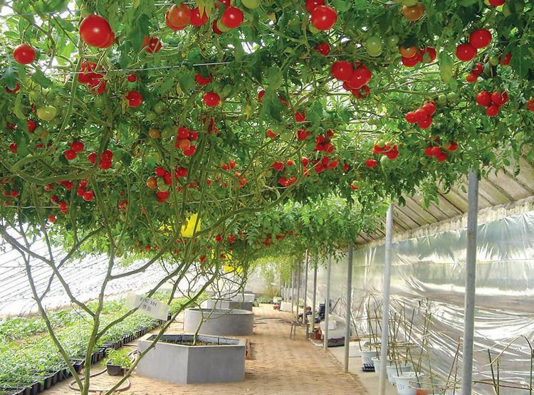 Trồng cây cà chua bạch tuộc bằng cách gieo hạt hay trồng bầu đều được. Ảnh minh họa