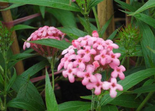 Kỹ thuật trồng cây hoa Diễm Châu cho ngày Tết nổi bật, may mắn - ảnh 5