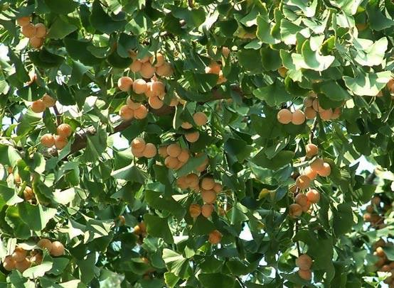 Kỹ thuật trồng cây Ngân hạnh trước nhà hút khí độc mang thịnh vượng, thanh bình cho gia chủ - ảnh 2