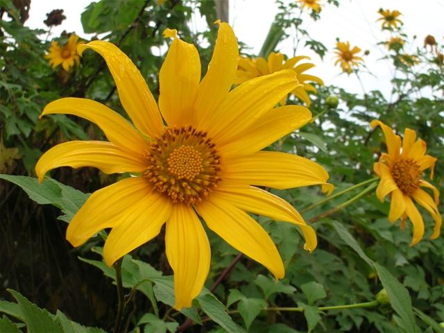 Kỹ thuật trồng hoa dã quỳ cho vườn nhà ngập sắc vàng ngày Xuân - ảnh 1
