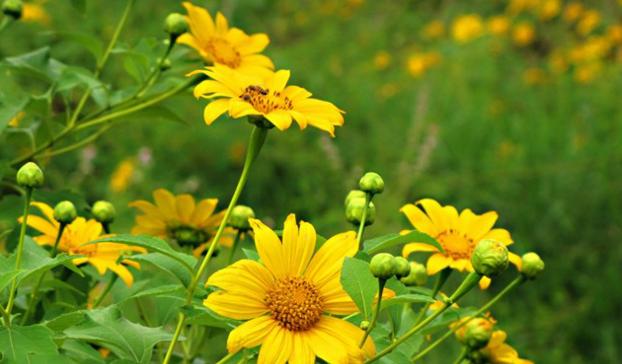 Kỹ thuật trồng hoa dã quỳ không mất nhiều thời gian chăm sóc nhưng hoa vẫn nở rất đẹp. Ảnh minh họa