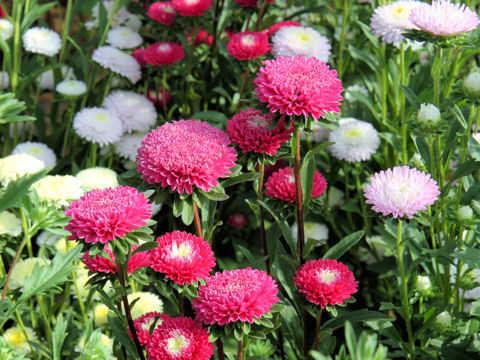 Kỹ thuật trồng hoa cúc tây cho vườn nhà ngát hương, may mắn quanh năm - ảnh 5