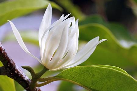 Kỹ thuật trồng cây hoa Ngọc Lan trước nhà mang phong thủy tốt cho gia chủ. Ảnh minh họa