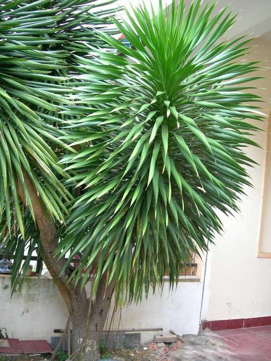 Kỹ thuật trồng cây Đại Lộc hút tài lộc vào nhà. Ảnh minh họa