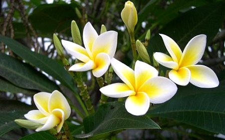 Kỹ thuật trồng cây hoa đại mang vẻ đẹp rực rỡ cho vườn nhà. Ảnh minh họa