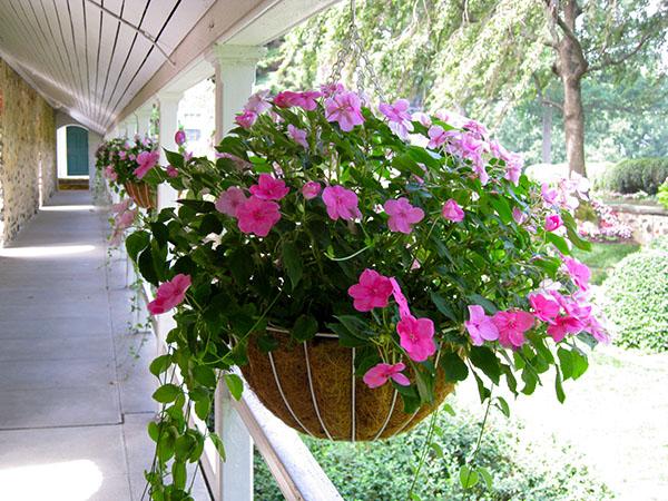 Kỹ thuật trồng cây mai địa thảo cho ban công rực rỡ ngày Xuân - ảnh 1