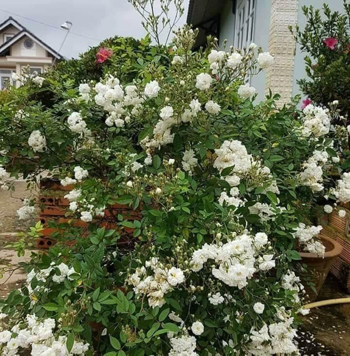 Kỹ thuật trồng hoa hồng bạch trà mang vẻ đẹp thuần khiết cho ngôi nhà ngày Xuân. Ảnh minh họa