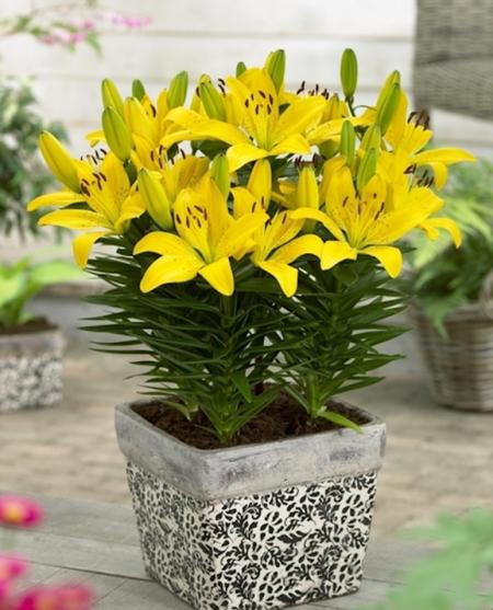 Kỹ thuật trồng hoa ly lùn vào chậu tại nhà nở đúng dịp Tết cực kỳ đơn giản - ảnh 1