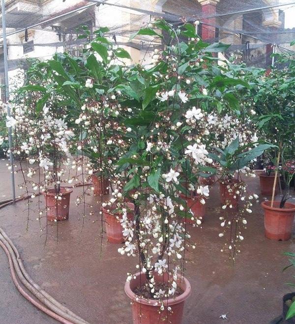 Kỹ thuật trồng cây dạ ngọc minh châu mang may mắn, phát tài ngày Xuân. Ảnh minh họa