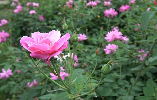 Kỹ thuật trồng hoa hồng quế mang hương thơm nồng nàn quyến rũ cho khu vườn - ảnh 1