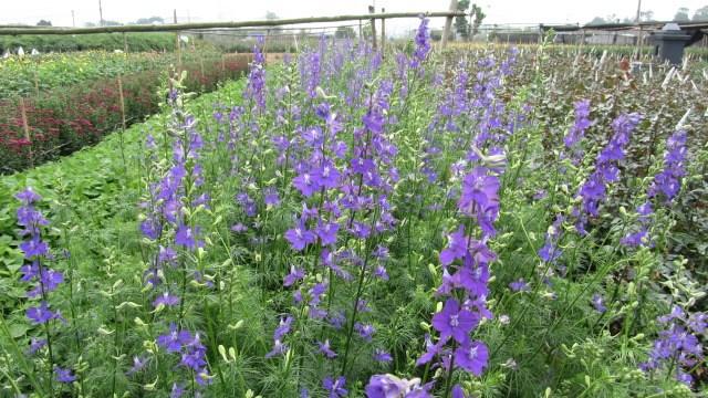 Kỹ thuật trồng hoa violet nở đúng dịp Tết đơn giản. Ảnh minh họa