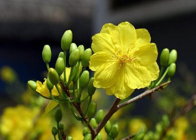 Kỹ thuật trồng cây mai và cách ngắt lá cho hoa nở đúng dịp Tết. Ảnh minh họa