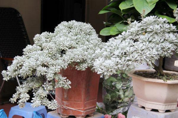 Kỹ thuật trồng cây hoa cúc mốc giúp gia chủ luôn vững vàng, may mắn - ảnh 1
