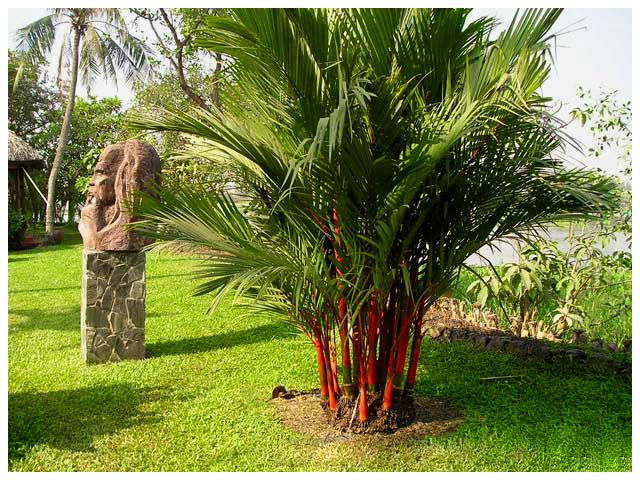 Kỹ thuật trồng cây cau kiểng đỏ mang may mắn, phát tài cho gia chủ. Ảnh minh họa
