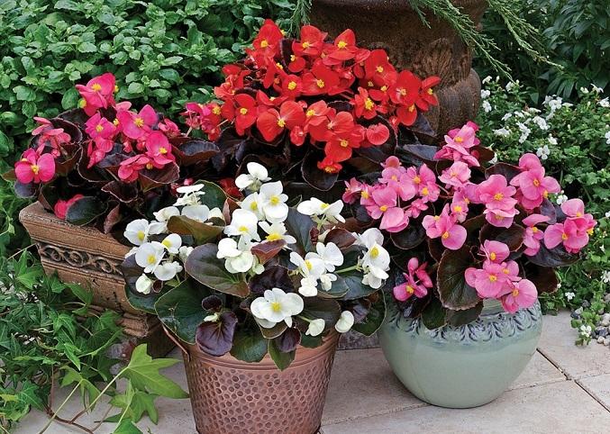 Kỹ thuật trồng cây bông nho đỏ cho vườn Nhà đẹp rực rỡ đón Xuân. Ảnh minh họa