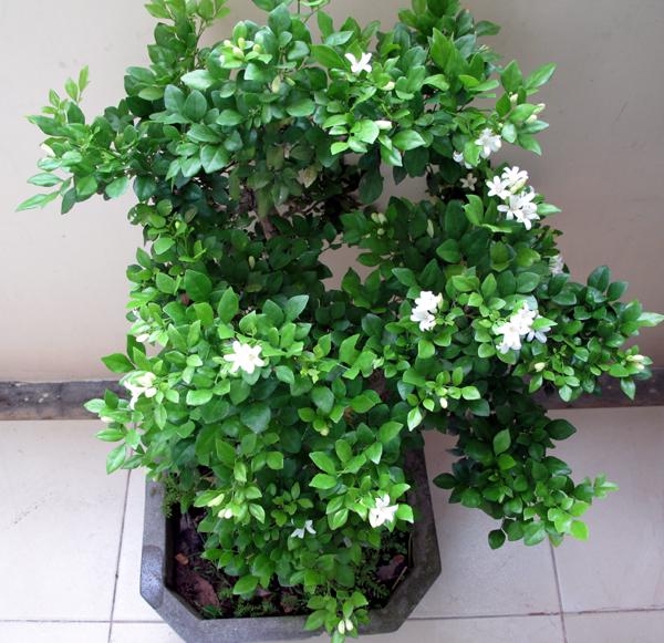 Kỹ thuật trồng cây Nguyệt Quế đơn giản. Ảnh minh họa