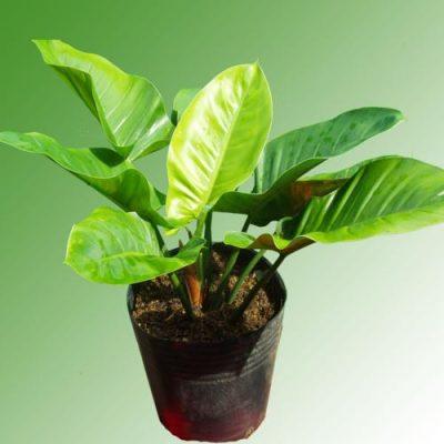 Kỹ thuật trồng cây đại đế xanh mang thịnh vượng quanh năm cho gia chủ. Ảnh minh họa