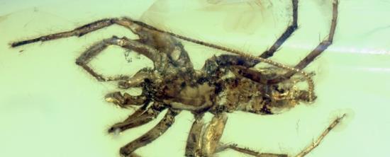 Loài nhện có đuôi vừa được tìm thấy. Ảnh: TTXVN