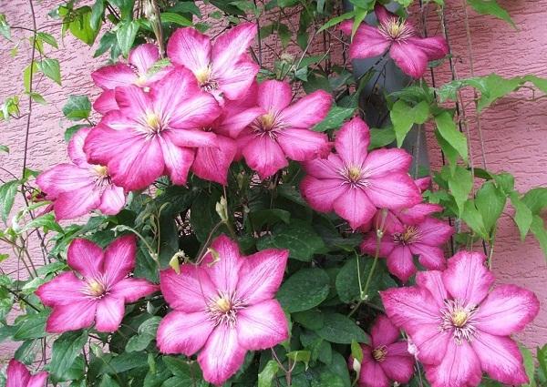 Hoa ông lão có nhiều màu sắc đẹp hút mắt. Ảnh minh họa