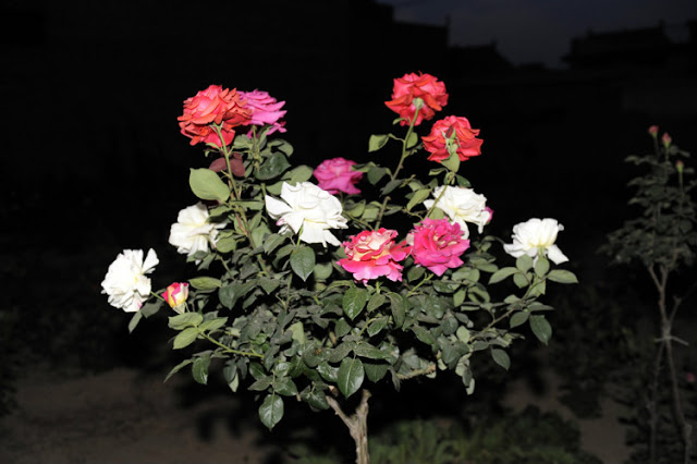 Kỹ thuật ghép hoa hồng thân gỗ nhiều màu đẹp ngỡ ngàng - ảnh 1