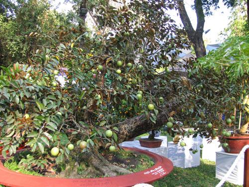 Vài bước trồng cây vú sữa trong chậu quả sai trĩu cành cả nhà ăn không xuể