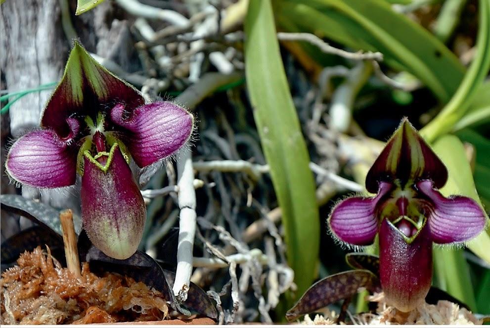 Kỹ thuật trồng hoa lan hài mang vẻ đẹp ấn tượng cho không gian nhà bạn. Ảnh minh họa