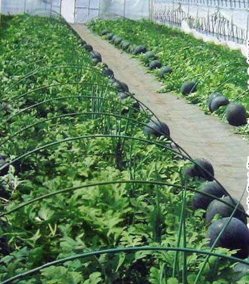 Kỹ thuật trồng dưa hấu đen năng suất vượt trội