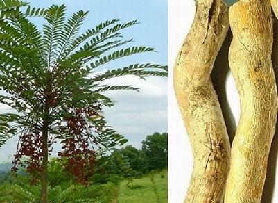 Cây Nhân mật được coi là một cây thuốc quý được Bộ Khoa học & công nghệ phát triển và sử dụng bền vững dùng làm thuốc. Ảnh: Chính phủ