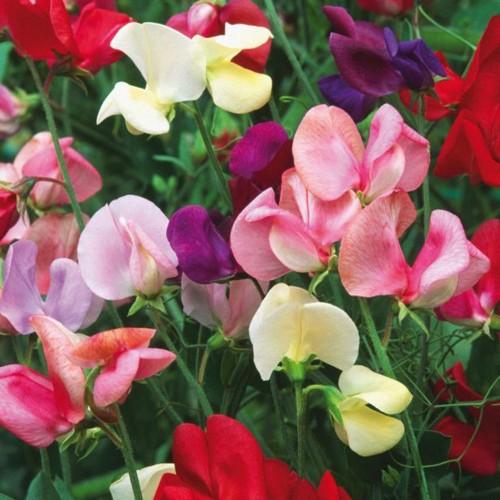 Kỹ thuật trồng cây đậu thơm giúp ngôi nhà bạn lúc nào cũng tỏa ngát hương thơm - ảnh 1