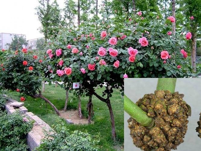 Dấu hiệu nhận biết và cách phòng trị bệnh sùi cành trên hoa hồng - ảnh 1