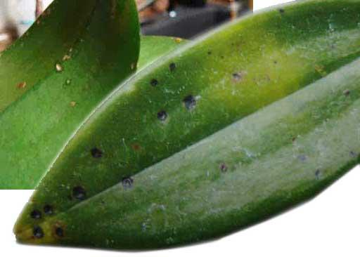 Cách phòng và trị bệnh đốm lá trên hoa lan đơn giản, hiệu quả - ảnh 1